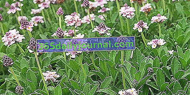 Липия (Phyla nodiflora), алтернатива на тревата