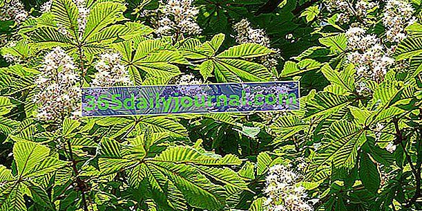 Castaño de Indias (Aesculus hippocastanum), árbol imponente