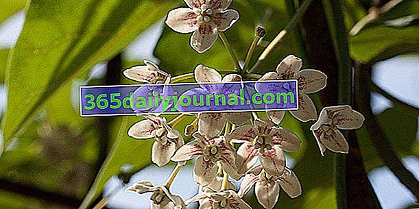 Drégée chino (Wattakaka sinensis syn. Dregea sinensis)