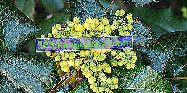 Mahonia (Mahonia spp.), Jak ostrokrzew kwitnący na żółto
