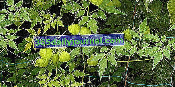 Srdcový hrášek (Cardiospermum halicacabum) nebo indické srdce