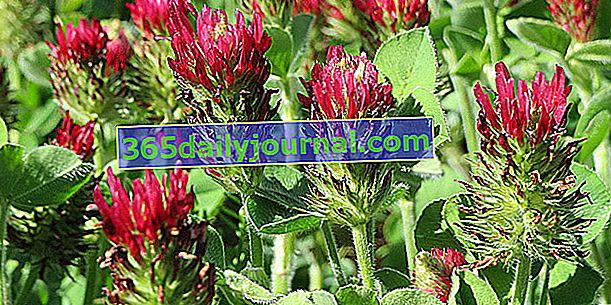 Jetel karmínový (Trifolium incarnatum), pěkný zajímavý zelený hnoj