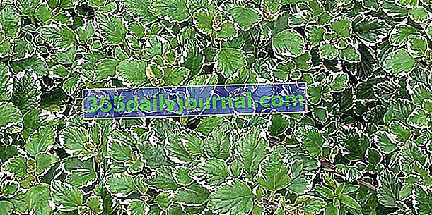 Falso coleo de Germaine (Plectranthus coleoides) o plectranthe