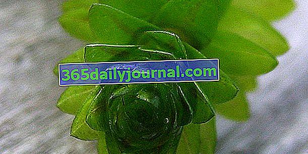 Елодея (Elodea canadensis), кислородно водно растение
