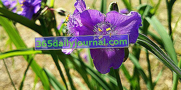 Mayfly (Tradescantia x andersoniana), издръжлива бедност