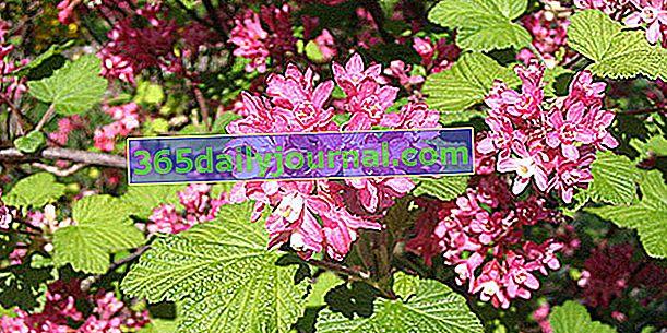 Grosella floreciente (Ribes sanguineum), grosella ornamental