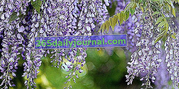 Glicinija (Wisteria), z lepimi cvetnimi grozdi