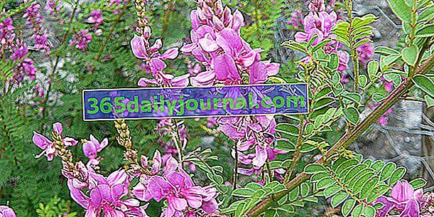 Árbol Indigot (Indigofera spp.), Racimos de flores rosadas durante todo el verano
