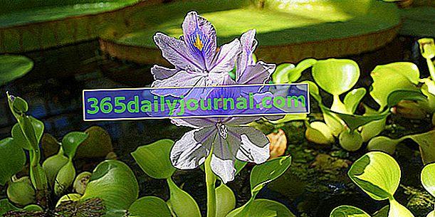 Jacinto de agua (Eichhornia crassipes) o camalote
