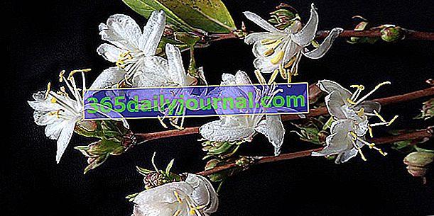 Madreselva de invierno (Lonicera fragrantissima), muy fragante