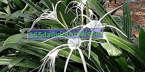 Ismene (Hymenocallis festalis) o lirio araña