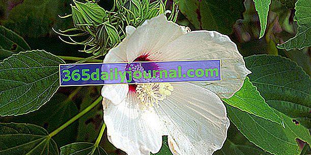 Hibisco de pantano (Hibiscus moscheutos) o hibisco de pantano