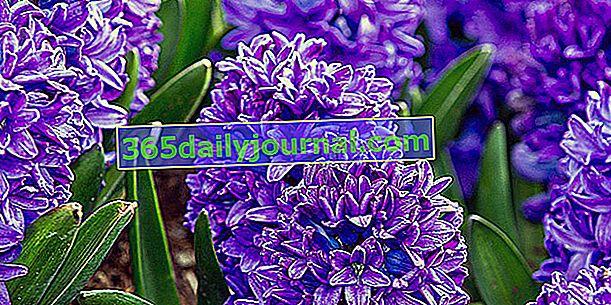 Jacinto (Hyacinthus), bulbo con una flor muy fragante