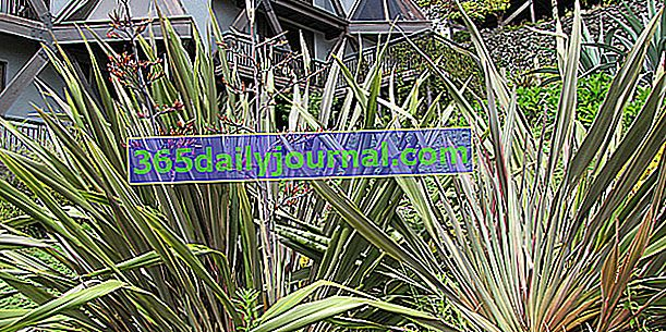 Новозеландски лен (Phormium) като агаве
