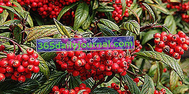 Cotoneaster (Cotoneaster), за да оцветите вашите живи плетове