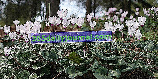 Циклама от Неапол (Cyclamen hederifolium) за открито