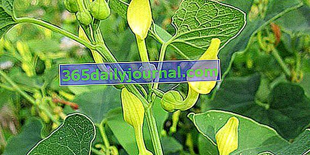 Aristolochia (Aristolochia), energiczny wspinacz
