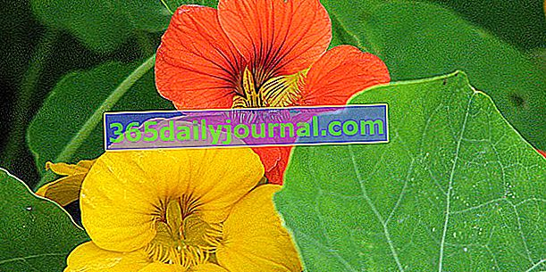 Nasturtium (Tropaeolum majus), simbol skrite ljubezni