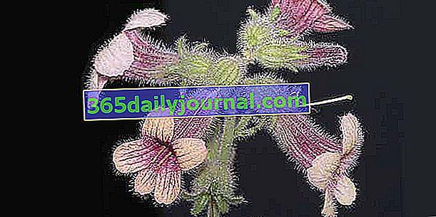 Rehmannia (Rehmannia glutinosa), Foxglove chino