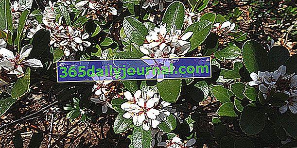 Rafiolepid (Rhaphiolepis spp.), Za suhe i tople vrtove