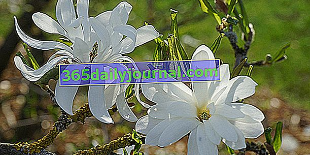 Zvjezdana magnolija (Magnolia stellata), cvjetni grm u cvatu