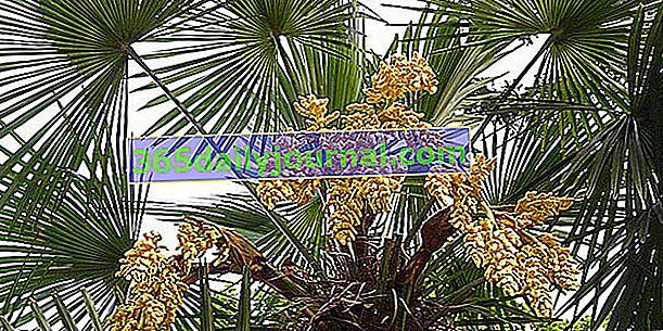 Konopljina palma (Trachycarpus fortunei) ali kitajska palma