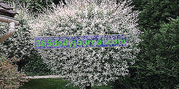 Kreveta vrba (Salix integra 'Hakuro-Nishiki')