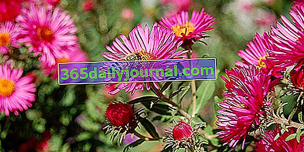 Aster (Aster spp.), Fall daisy