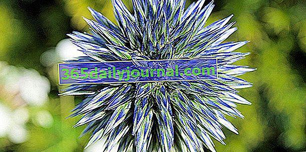 Azurová koule (Echinops ritro), bodlák kulový