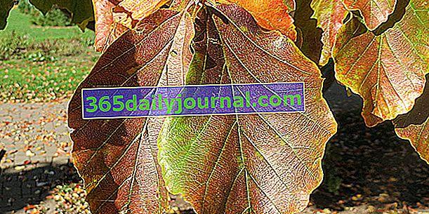 Železný strom (Parrotia persica) s oslnivými listy podzimu
