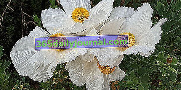 Мак на дърво (Romneya coulteri), за сухи почви