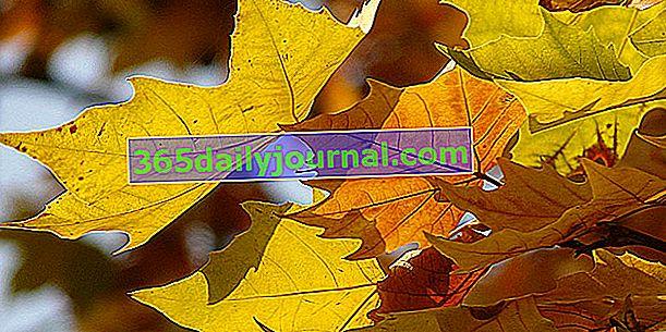 Клен (Acer spp.), С цветни широколистни листа