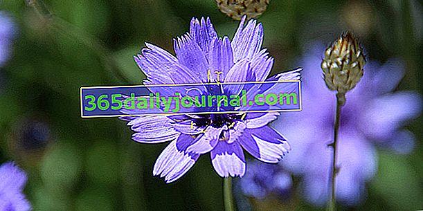 Catananche azul (Catananche caerulea) o cupidona