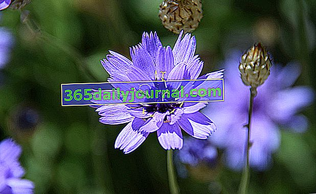 Catananche azul (Catananche caerulea) o cupidona