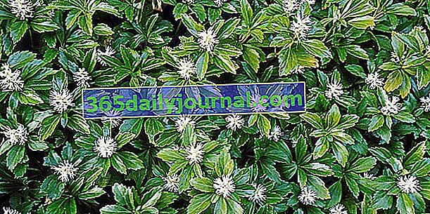Japonský pachysandr (Pachysandra terminalis) zastíní půdní kryt