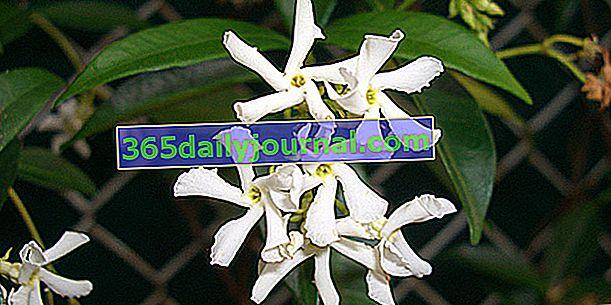 Звезден жасмин (Trachelospermum jasminoides), издръжлив и катерещ се многогодишен
