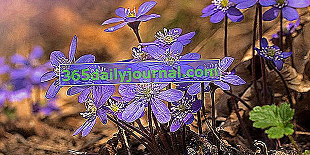 Zawilec wątrobowy (Hepatica nobilis), tak podobny do anemonu