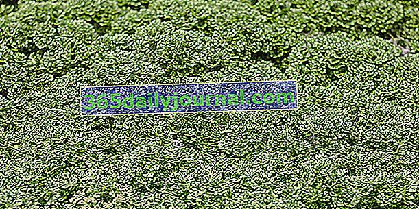 Selaginella (Selaginella spp.), Jako mech