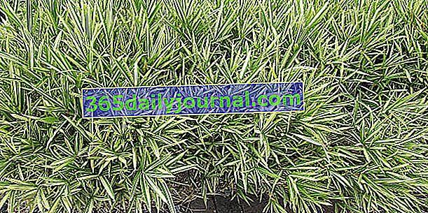 Карликовий бамбук (Плейобласт), для кордонів