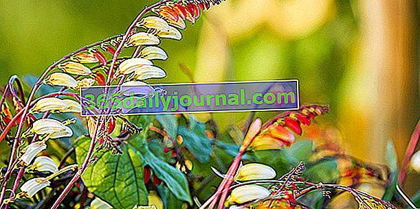 Індійське перо (Ipomoea versicolor), або квамоклітна лобата
