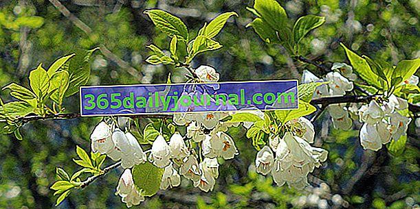 Drevo srebrni zvon (Halesia carolina), drevesne snežinke