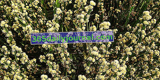 Carqueja (Baccharis genistelloides), krzew graficzny