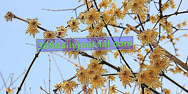 Pachnący Chimonanthus (Chimonanthus praecox), kwitnący zimą