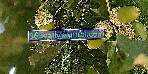 Roble (Quercus spp.), El árbol de la nobleza