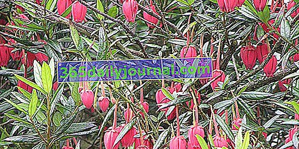 Crinodendron (Crinodendron hookerianum) na wybrzeżu Atlantyku