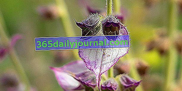 Szałwia muszkatołowa (Salvia sclarea), wszystko dobrze