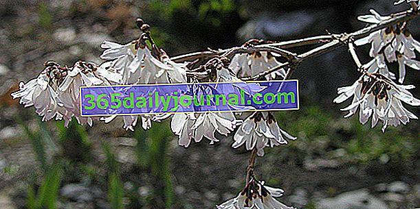 Зимно цъфтяща корейска бяла форзиция (Abeliophyllum distichum)