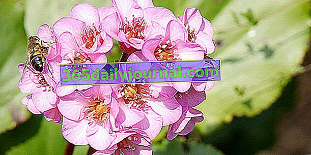 Cordate Bergenia (Bergenia cordifolia), обущарско растение