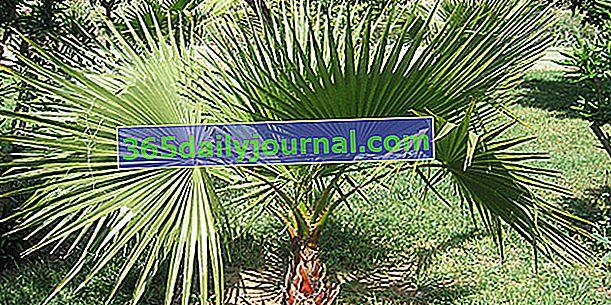 Petticoat palmiyesi (Washingtonia), soğuk dayanıklı palmiye
