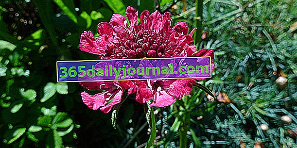 Scabiosa zahradní (Scabiosa atropurpurea)